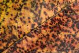 autumn leave - jesenski list (_MG_8478m.jpg)