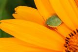 blossom and leaf bug - cvet in stenica (_MG_3252m.jpg)