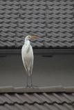 Ardea alba - egret - bela čaplja (_MG_0443m.jpg)