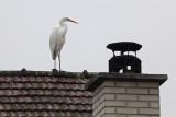 Ardea alba - egret - bela čaplja (_MG_0630m.jpg)