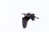 Ardea cinerea - gray heron - siva čaplja (_MG_0602ok.jpg)