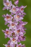 Calluna vulgaris - resa (_MG_4608m.jpg)