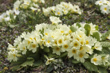 primroses - trobentice _MG_9229m.jpg