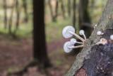 mushrooms oudemansiella mucida (IMG_2496m.jpg)