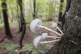 mushrooms (IMG_2512m.jpg)