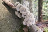 wood mushroom (IMG_2292m.jpg)