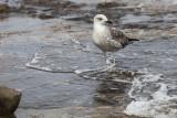 seagull laridae galeb (IMG_6971m.jpg)
