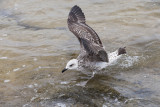 seagull laridae galeb (IMG_7011m.jpg)
