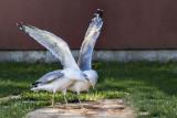 seagull laridae galeb (IMG_7238m.jpg)
