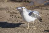 seagull laridae galeb (IMG_7276m.jpg)