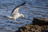 seagull laridae galeb (IMG_7396m.jpg)