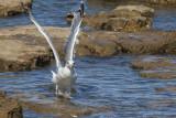 seagull laridae galeb (MG_7566om.jpg)