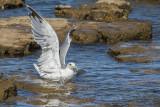 seagull laridae galeb (IMG_7567m.jpg)