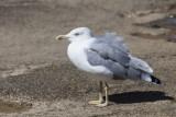 seagull (IMG_8253m.jpg)
