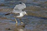 seagull (IMG_7642m.jpg)