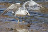 seagull (IMG_7641m.jpg)