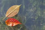 leaves (IMG_9110m.jpg)
