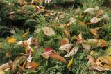 autumn leaves (IMG_9285m.jpg)