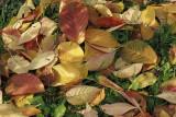 autumn leaves (IMG_3366m.jpg)
