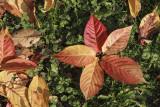 flower of leaves (IMG_9096m.jpg)