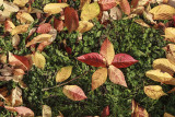 flower of leaves (IMG_9100m.jpg)