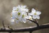 white flower (_MG_8549m.jpg)