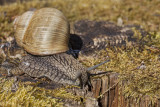 snail (_MG_8957m.jpg)