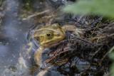 green frog (_MG_9245m.jpg)