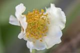 kiwi blossom (_MG_6976m.jpg)