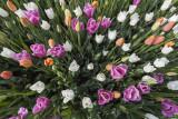 tulips (_MG_0228m.jpg)