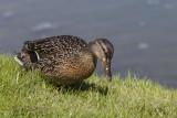 duck Anas platyrhynchos (_MG_3198m.jpg)