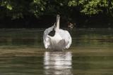 swan (_MG_3446m.jpg)