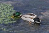 duck Anas platyrhynchos raca mlakarica male (_MG_3457m.jpg)