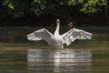 swan (_MG_3447m.jpg)