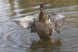 duck Anas platyrhynchos raca mlakarica female (_MG_7651m.jpg)