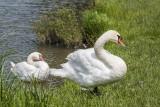 swans (_MG_7550m.jpg)