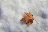 leave in snow (_MG_2224ok.jpg)