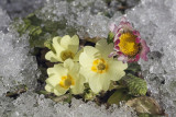 flowers in snow (_MG_3649m.jpg)