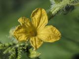 cucumber flower (IMG_9383m.jpg)