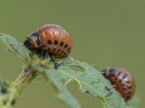 potato beetle (IMG_8409m.jpg)