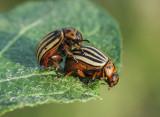 potato beetle koloradski hrošč Leptinotarsa decemlineata (IMG_8273m.jpg)