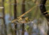 green frog (IMG_6739m.jpg)