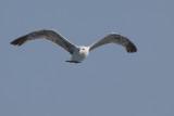 gull (IMG_2226m.jpg)