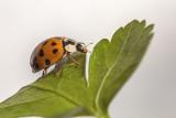 ladybird (_MG_2691m.jpg)