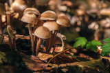 mushrooms (_MG_4025m.jpg)