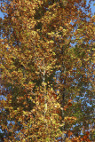 autumn leaves IMG_7999m.jpg