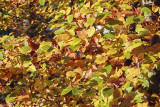 autumn leaves IMG_7977m.jpg