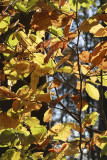 autumn leaves IMG_8011m.jpg