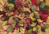 autumn leaves IMG_8073m.jpg