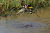 European Goldfinch (Putter)